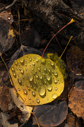 Uncompahgre National Forest「Raindrops on aspen leaf on ground」:スマホ壁紙(3)