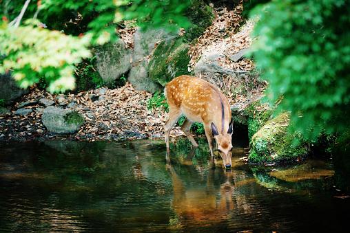 Japan「子鹿森の小川から水を飲む」:スマホ壁紙(5)