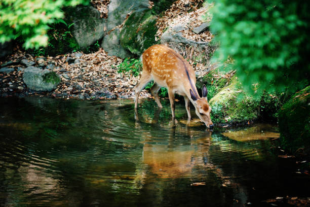 Fawn drinking water from creek in forest:スマホ壁紙(壁紙.com)