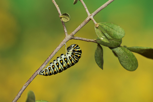 小枝「Caterpillar of black swallowtail (Papilio Polyxenes) pupating into chrysalis, Hill Country, Texas, USA」:スマホ壁紙(1)