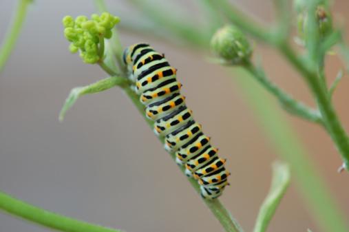 Warning Behavior「Caterpillar of a Swallowtail Butterfly」:スマホ壁紙(16)