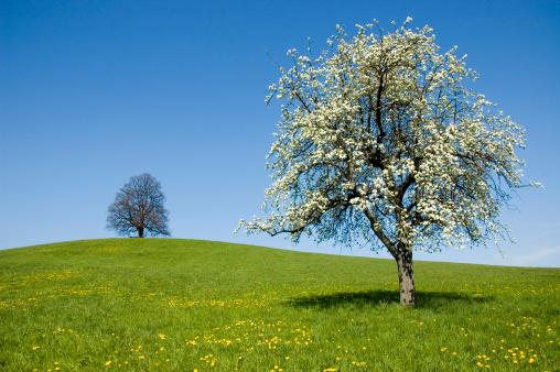 Cherry Blossom「アップルツリー、春の草地」:スマホ壁紙(4)