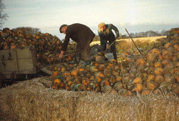 Turnip「Clamp Swedes In Late Autumn」:写真・画像(10)[壁紙.com]