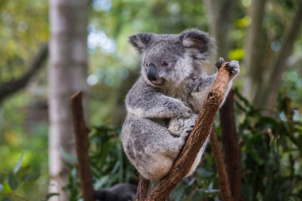 Australia, Brisbane, Lone Pine Koala Sanctuary, portrait of koala perching  on tree trunk:スマホ壁紙(壁紙.com)
