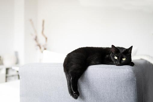 black cat「Black cat resting on sofa at home」:スマホ壁紙(16)