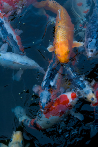 Carp「Crowd of Carp in a Pond, High Angle View, Full Frame, Close Up」:スマホ壁紙(5)
