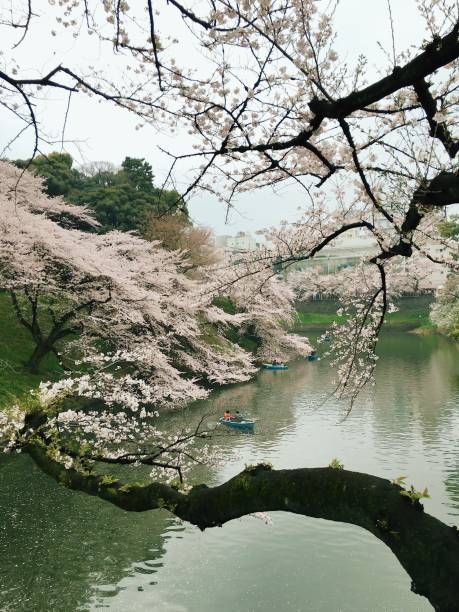 Day View of Cherry Blossoming and Boats by River:スマホ壁紙(壁紙.com)