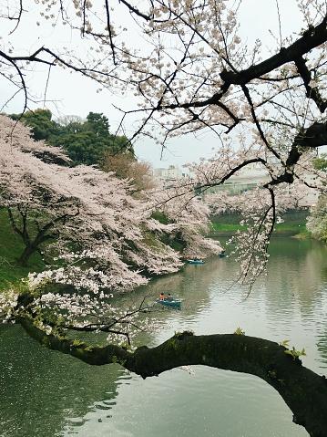 桜祭り「桜の開花と川でのボートの日ビュー」:スマホ壁紙(1)