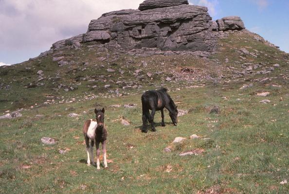Photography「Dartmoor Ponies And Granite Tor」:写真・画像(14)[壁紙.com]