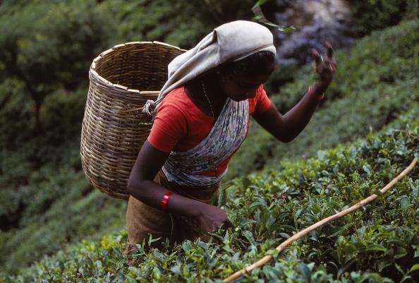 Sri Lanka「Tamil Tea-Picker」:写真・画像(11)[壁紙.com]