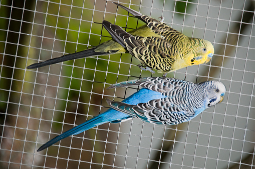 Tame「Yellow blue canary birds aviary bird cage hanging on fence」:スマホ壁紙(5)