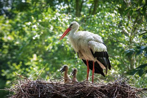 赤ちゃん「コウノトリ彼の巣 」:スマホ壁紙(8)