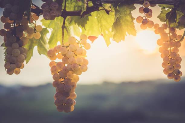 White grapes hanging from vine:スマホ壁紙(壁紙.com)