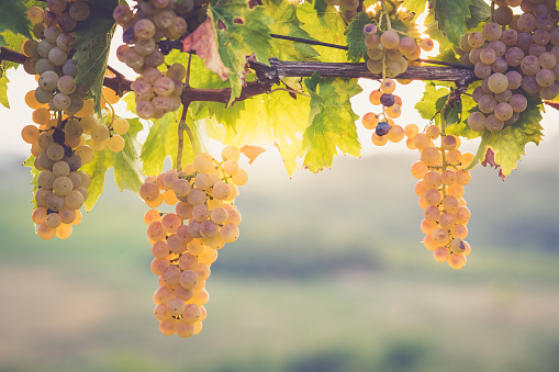 2018「White grapes hanging from vine」:スマホ壁紙(14)