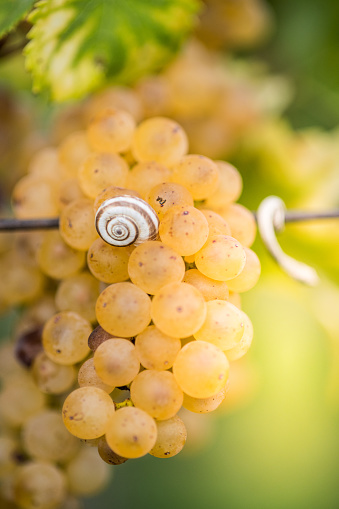 カタツムリ「白ブドウとそれにカタツムリをクローズ アップ」:スマホ壁紙(17)