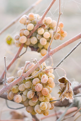 Frozen「White grape covered by ice」:スマホ壁紙(10)