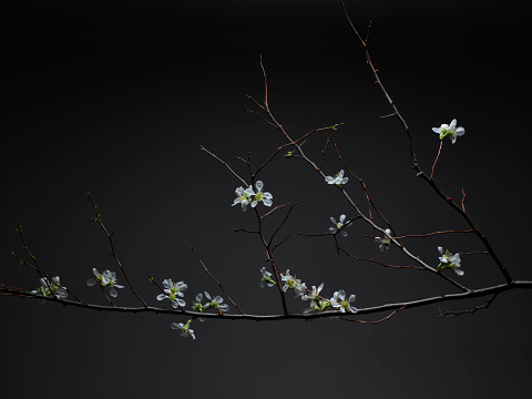 Cherry Blossoms「White tea flowers on branches on dark backgrund」:スマホ壁紙(15)