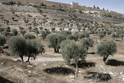 Grove「The Valley of Kidron and olive groves. This valley separates the Old City of Jerusalem and Mount of Olives to its east. Israel.」:スマホ壁紙(6)