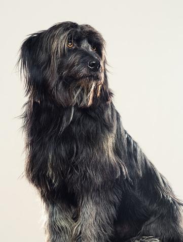 Waiting「Gos d'atura dog studio portrait looking away」:スマホ壁紙(16)
