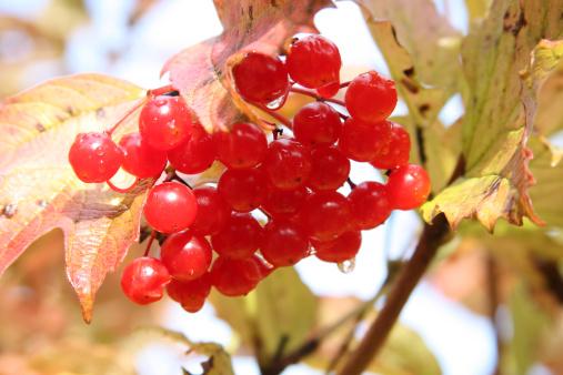 Rowanberry「Harvest of snowball tree (also known as Viburnum opulus or Arrow-wood). After rain」:スマホ壁紙(4)