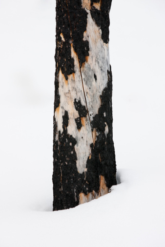 Yoho National Park「The charred bark of a burnt tree in a forest near Field, Yoho National Park in the Canadian Rockies, Canada」:スマホ壁紙(7)