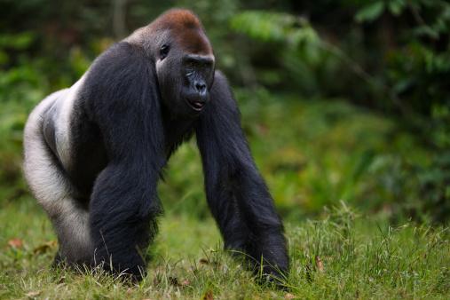 Gorilla「Western lowland gorilla male silverback walking」:スマホ壁紙(19)