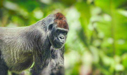 野生動物「西ローランド ゴリラと熱帯雨林で探して」:スマホ壁紙(1)