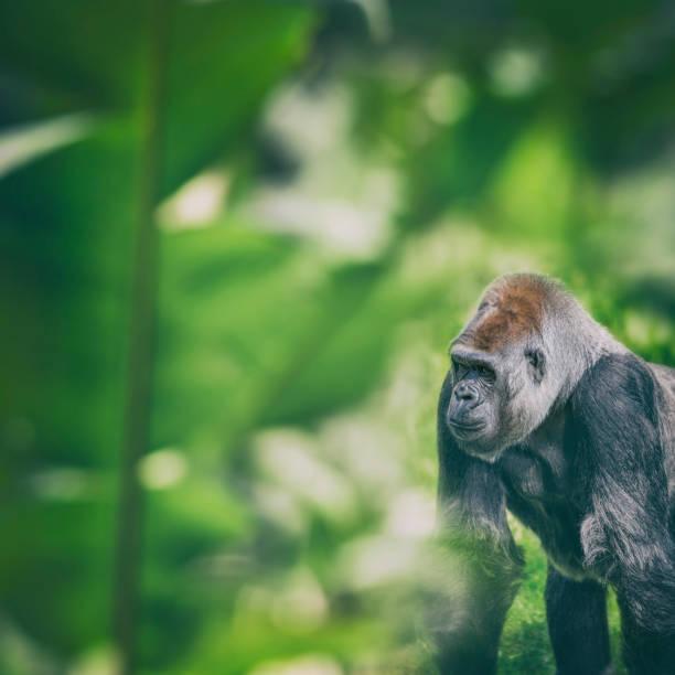 Western Lowland Gorilla standing and looking in rainforest:スマホ壁紙(壁紙.com)