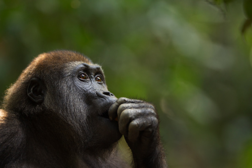 Animal Body Part「Western lowland gorilla juvenile male portrait」:スマホ壁紙(2)