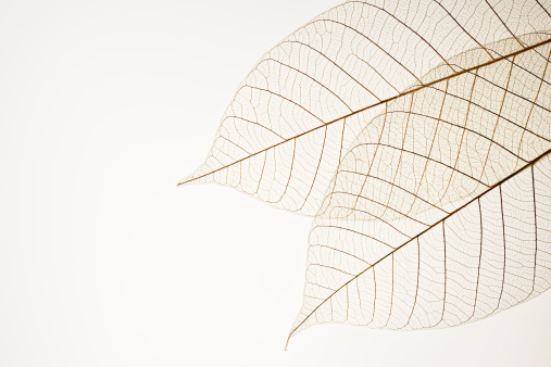 Translucent「Isolated shot of two leaf veins on white background」:スマホ壁紙(2)