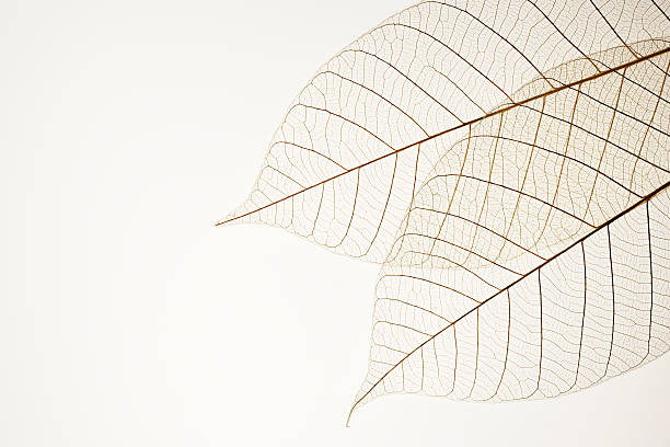 Isolated shot of two leaf veins on white background:スマホ壁紙(壁紙.com)