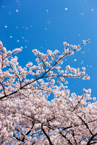 桜「Petals falling from cherry blossom tree」:スマホ壁紙(11)