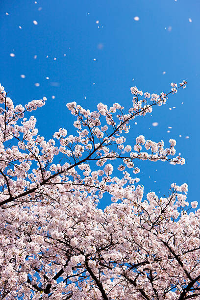 Petals falling from cherry blossom tree:スマホ壁紙(壁紙.com)