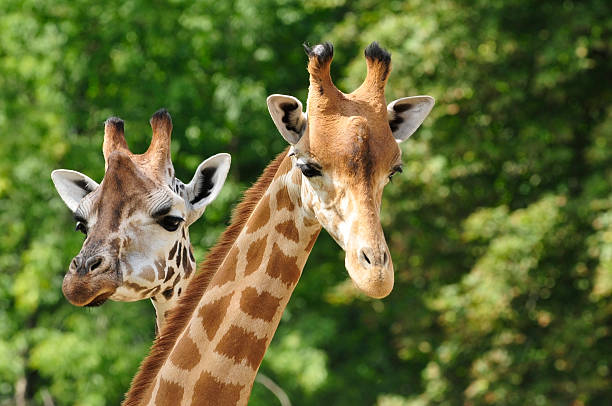Heads of two giraffes in front of green trees:スマホ壁紙(壁紙.com)