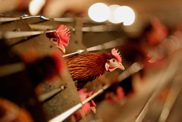 Poultry Farmer Raises Battery Chickens Amid Bird Flu Scare:ニュース(壁紙.com)