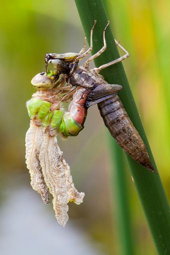 とんぼ「Emerging Blue-eyed Darner dragonfly from late instar larval nymph stage (Aeschna multicolor)」:スマホ壁紙(8)