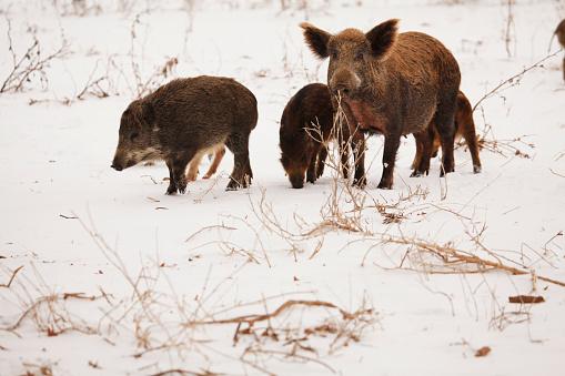 猪「Feral Hogs」:スマホ壁紙(11)