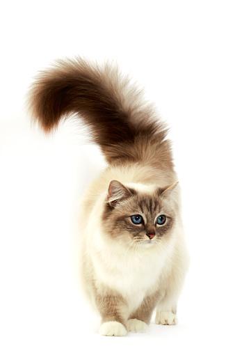 バーマン猫「Birman cat」:スマホ壁紙(4)