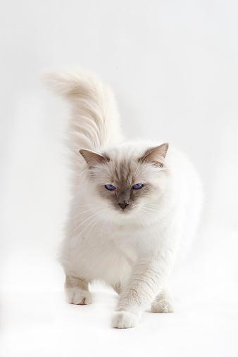 バーマン猫「Birman cat」:スマホ壁紙(9)