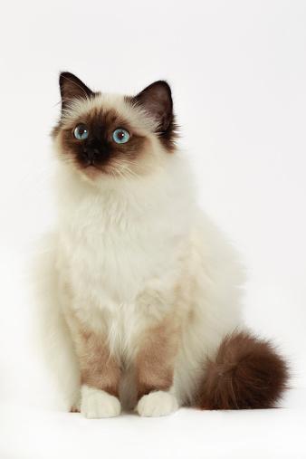 バーマン猫「Birman cat」:スマホ壁紙(16)
