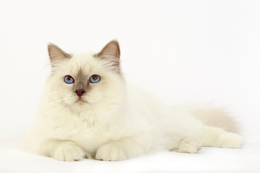 バーマン猫「Birman cat」:スマホ壁紙(2)