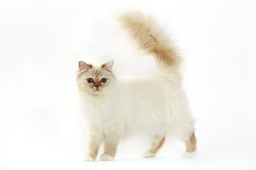 バーマン猫「Birman cat」:スマホ壁紙(17)