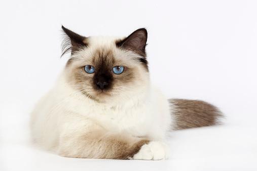 バーマン猫「Birman cat」:スマホ壁紙(6)