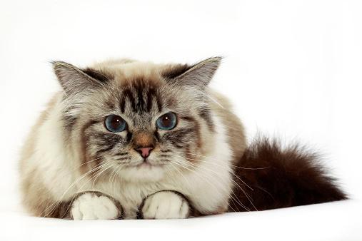 バーマン猫「Birman cat」:スマホ壁紙(3)