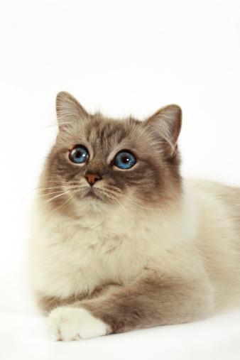 バーマン猫「Birman cat」:スマホ壁紙(13)