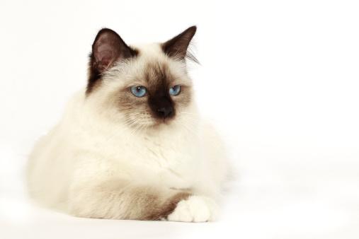 バーマン猫「Birman cat」:スマホ壁紙(8)
