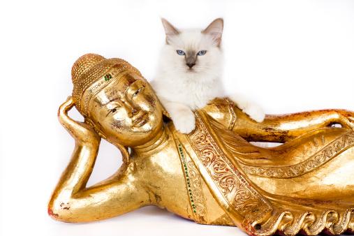 バーマン猫「Birman cat」:スマホ壁紙(15)