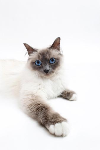 バーマン猫「Birman cat」:スマホ壁紙(14)