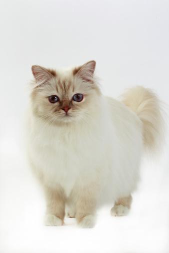 バーマン猫「Birman cat」:スマホ壁紙(19)