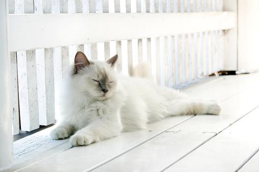 バーマン猫「Birman cat」:スマホ壁紙(1)